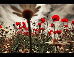 Mamma mia here I go Again (FotoRita [Allstar maniac]) Tags: life flowers italy rome roma digital canon poppies fiori myfavourites canoneos350d eos350d papaveri byfotorita articulateimages mammamiahereigoagain scattifotografici
