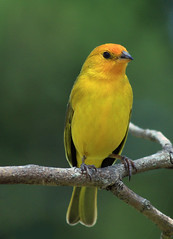 Canrio-da-terra - (Saffron finch) - (Sicalis flaveola) (claudio.marcio2) Tags: bird nature natureza pssaro breathtaking shiningstar visualart birdwatcher wonderfulnature naturesfinest justonelook wingedwonders mywinners abigfave godnature agradephoto ourplanet nationalgeographicareyougoodenough avianexcellence excellenceinavianphotography photosandcalendar fantasticbirdshots citrit citritgroup freenature worldofanimals photostosmileabout eperkeaward naturewatcher wonderfulworldmix goldsealofquality theworldsbestnaturewildlifeandmacrophotography betterthangood astoundingimage superamazingshotsaward goldstaraward natureselegantshots birdsinsideandoutside salveanatureza phenomenalpictureperfect worldnaturewildlifecloseup planetaterraeseusanimaisincrveis fantasticwildlife fantasticwildlifephotography vosplusbellesphotos thewonderfulworldofbirds naturegreenstar naturescreations excellenceinavianphotograpy animaisaoextremo superbestshotsonflickr drangonflyawardsgroup