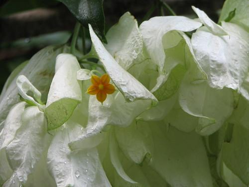 how to grow mussaenda plant