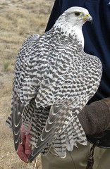Gyrfalcon: Eagle Day: Pueblo, Colorado (CO) (Floyd Muad'Dib) Tags: park usa lake bird birds animal animals america geotagged us colorado day unitedstates state eagle united north pueblo reservoir southern sp raptor falcon northamerica states falcons raptors americanwest pueblocolorado gyrfalcon westernusa southerncolorado puebloreservoir lakepueblostatepark puebloco eagleday gyrfalcons lakepueblo lakepueblosp