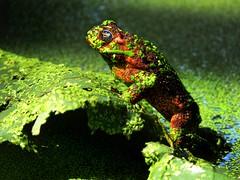 frog pose-redux (jobarracuda) Tags: green lumix pond philippines frog palaka fz50 lamesaecopark panasoniclumixdmcfz50 aplusphoto jobarracuda jobar jojopensica