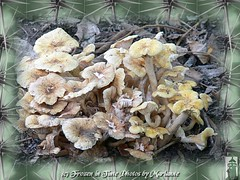 P2070527 natures mushrooms (Frozen in Time photos by Marianne AWAY OFF/ON) Tags: nature photowalk veteranspark wildmushrooms naturesfinest septemberfest framedphotos hamiltonveteranspark nationalgeographicwannabes nature♥unlimited♥publicgroupforever photowatermarkframes naturegreenstar septemberfest2008 nationalgeographiswannabes