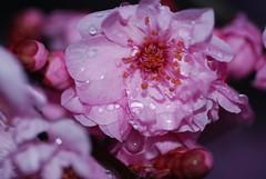 plum_20090217_6.jpg (faeparsons) Tags: flowers blossoms plumblossoms