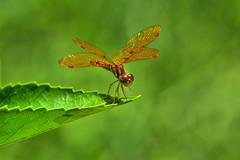 Copper Wings in the Garden (Jeff Clow) Tags: macro closeup bravo raw dragonfly dfw jeffrclow