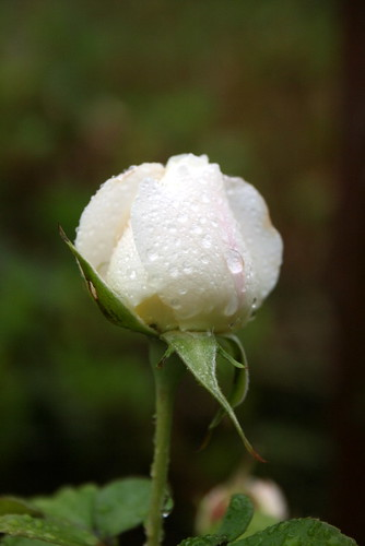 raindrops on rose