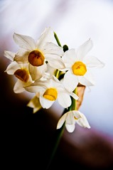 narcissus (Sherwan) Tags: flower macro nature photoshop spring nikon flickr raw quality erbil kurdistan narcissus lightroom kurd sherwan hewler irbil hawler