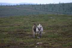 Suomi 2008 - 033 (Veraldar Nagli) Tags: animals suomi finland reindeer finnland inari lappland north norden skandinavien lapland ren saariselk lapin rentier nord kaunisp rangifertarandus 68