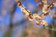 plum blossoms! (pink mochi) Tags: flowers spring plum mito ume kairakuen umematsuri plumblossomfestival