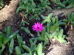 Antegibbaeum Fissoides Aizoaceae