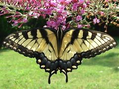 Missing You (jrix) Tags: macro dedication buddleia butterflies shrubs butterflybush easterntigerswallowtail floweringshrubs jul08 abigfave macromarvels rubyphotographer theenchantedcarousel