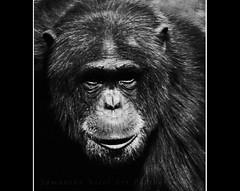 Fish & Chimps.... (Samantha Nicol Art Photography) Tags: portrait hairy white black animal monkey nikon chimp stare chimpanzee samantha nicol