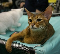 Abyssinian cat (Zerteh) Tags: cat golden moscow abyssinian catshow      russiansafari