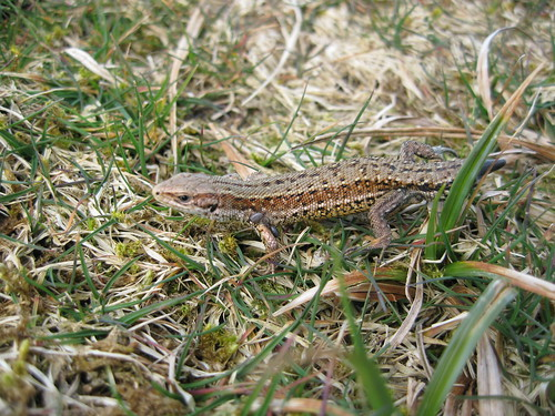 Closer Lizard - Easter Sunday (Dartmoor)
