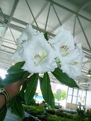 Rhododenron lindleyi A