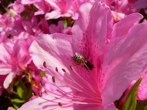 Biene in japanischer Azaleenblüte
