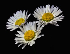 Three of a Kind (There and back again) Tags: white flower macro yellow three daisy onblack platinumheartaward