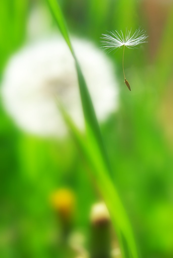 A Seed of the Dandelion