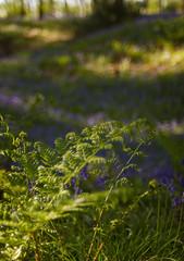 Blue hollow (Skink74) Tags: wood uk flowers england 20d geotagged dof bokeh hampshire bluebell eos20d scillanonscripta nikkor35f14 parnholtwood geo:lat=5105545 geo:lon=144128 nikkor35mm114ai
