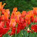 groupofredorangetulips
