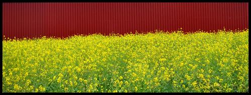 Amarillo pendiente