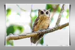นกเค้ากู่, นกฮูก/Collared Scops Owl