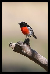 Scarlet Robin, Cooleman Ridge NR, 17.5.09 (Callocephalon Photography) Tags: male bird robin pose branch background smooth australia stump canberra act paddock redbreasted naturesfinest obliging passerine scarletrobin specanimal abigfave sigma50500mmf463 colorphotoaward superaplus aplusphoto canoneos40d petroicaboodang vosplusbellesphotos coolemanridgenr saariysqualitypictures