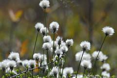 Cotton Grass At Alfred Bog