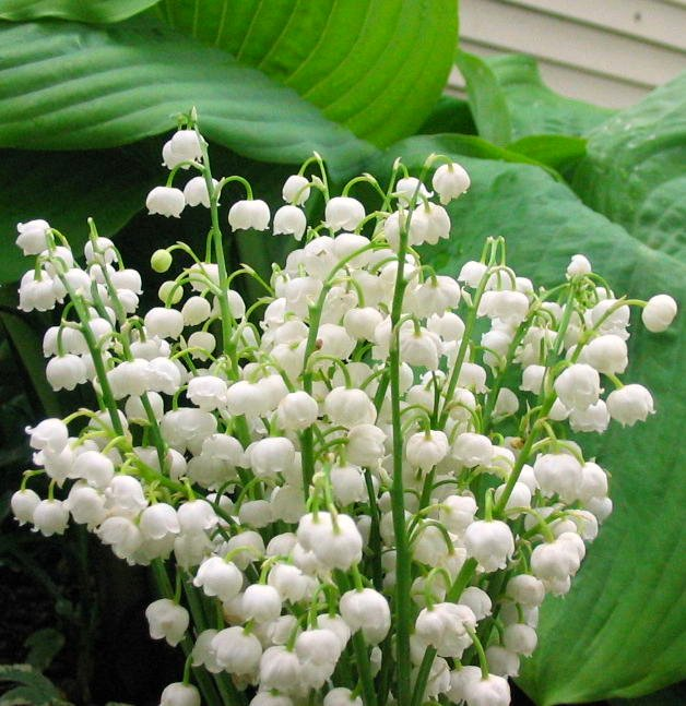 Lily of the Valley (group)