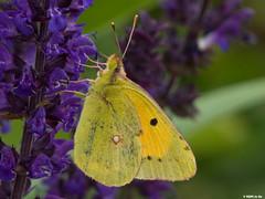Souci (Colias crocea) (Le No) Tags: butterfly papillon 31 souci hautegaronne midipyrnes pieridae lpidoptre stlon lauragais coliascrocea collectionnerlevivantautrement
