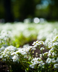 Bed of Alyssum (Celina Innocent) Tags: flowers bokeh idaho alyssum boisephotowalkers 20090523