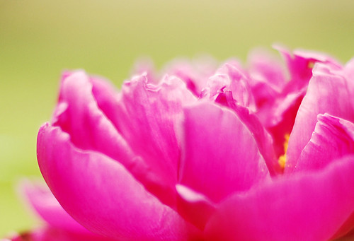 pink peony love  <3