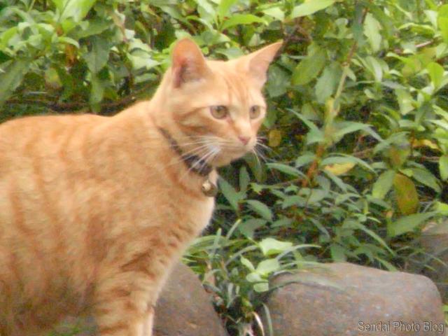 Sendai cat