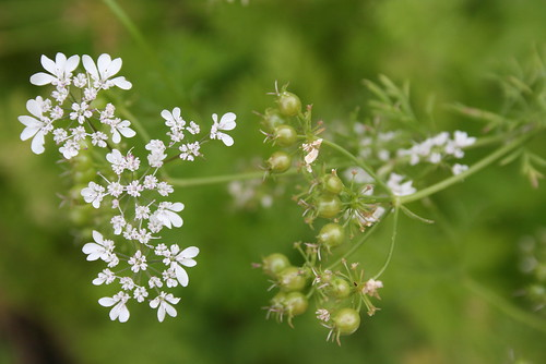 coriander blooms and seeds