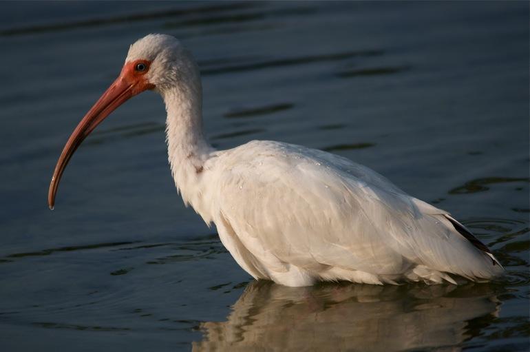 ibis_water_0043