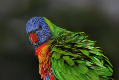 Ruffled Feathers - Rainbow Lorikeet (Bruce Kerridge) Tags: blue red color colour macro green bird nature animal yellow closeup garden rainbow nikon colorful bokeh wildlife wing sydney feather lorikeet parrot australia colourful rainbowlorikeet avian plume d80 platinumphoto