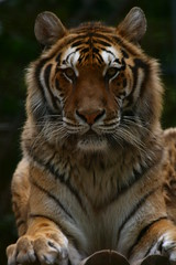 Siberian Tiger Male (catopuma) Tags: sky zoo monkey eagle tiger lion moose niagara safari leopard lemur owl jaguar tapir zooz siamang