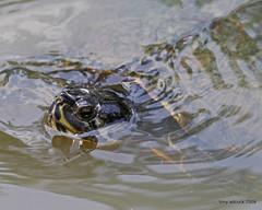 IMG_8570 copy (tonyadcockphotos) Tags: gardens garden nc pond durham turtle northcarolina slider dukegardens publicgardens durhamnc dukeuniversity sarahpdukegardens