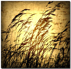 Blowin' in the Wind (ZedZap Photos) Tags: wind professional grasses hdr imagery memoriesbook platinumheartaward fbdg saariysqualitypictures absolutegoldenmasterpiece artistictreasurechest zedzap bestcapturesaoi adrinnesmagicaltour hqphotography