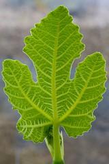 Self Similarity (PhotoToasty) Tags: nature fruit leaf fig veins selfsimilarity