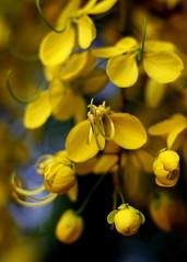 KanniKonna - Vishu (Neo-grapher) Tags: street morning india flower nature yellow 50mm bangalore streetphotography karnataka vishu kanikonna whitefiled 1000d 50mmphotography