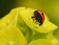 Dipping in (Viche) Tags: garden ladybird ladybug ladybugs ladybirds standrewsbotanicgarden standrewsbotanicalgardens