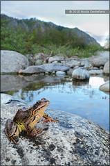 Rana temporaria (Nicola Destefano) Tags: italy italia amphibian frog piemonte amphibians rana piedmont temporaria ranatemporaria anura amphibia anfibio anfibi commonfrog commonbrownfrog ranamontana ranaalpina