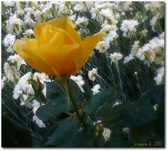 giallo fra i bianchi (erman_53fotoclik) Tags: verde foglie rosa giallo fiori petali