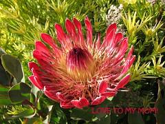 Today and everyday! (Kelley Macdonald) Tags: santacruz arboretum redflower protea ucsc proteaceae ucsantacruzarboretum ucscarboretum southafricanflower santacruzarboretum proteaeximiacardinal