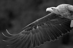 1-5 (doevos) Tags: bird czechrepublic oiseau vogel ern zeearend erne seaeagle whitetailedseaeagle whitetailedeagle seeadler haliaeetusalbicilla pygarguequeueblanche grandaigledemer europesezeearend aiglebarbu