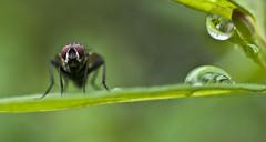 Macro: Fly and Rain drops (Xanis_WFN) Tags: macro fly bugs raindrops pentaxkx pentaxsmcpda35mmf28