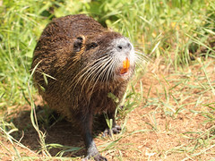 Nutria / Biberratte / Coypu (Myocastor coypus) (Sexecutioner) Tags: portrait nature animal animals canon germany deutschland zoo tiere hessen wildlife natur dortmund nordrheinwestfalen nutria tier nauheim coypu 2011 ragondin wasserratte beverrat myocastor coypus myocastorcoypus nutriarat coipu nutrie biberratte zoodortmund sumpfbiber coypurat schweifbiber schweifratte ratodobanhado grosgerau nutrija coip copyrightsexecutioner rataodobanhado swampbeaver bverrotte sumpbver rmemajava bjrrotta beverrotte sumpbever sumpbver sumaymunu