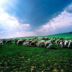 (cpods2) Tags: bluesky greengrass greyhair whitecloud brownandwhite eatinggrass sheepflock animalsketch greenprairie