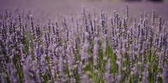 Purple bliss ! (D3 Photography) Tags: nikon dof lavender sigma dry australia melbourne victoria outback fullframe fx d3 50mmf14 liliac omeo