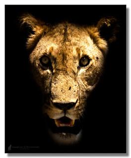 East African lion (Panthera leo nubica) Östafrikanskt lejon
